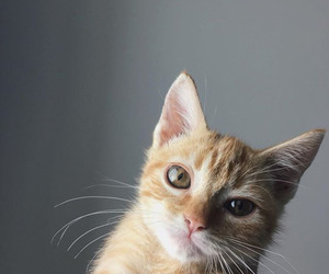 cat, ginger, and cute image