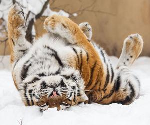 siberian tiger, tiger, and tigre image