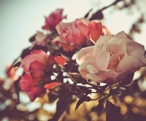 flowers, rose, and photo image