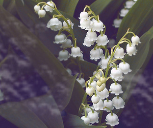 blossom, flower, and lily of the valley image