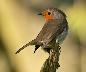 bird, red, and robin image