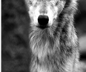 wolf and loup image