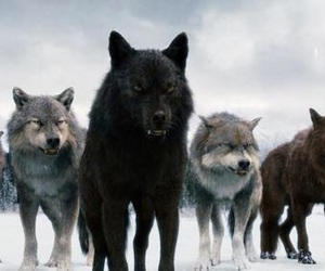 wolf, twilight, and werewolf image