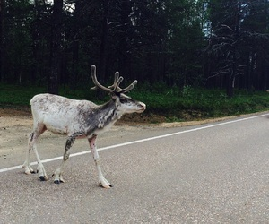 finland, reindeer, and lapland image