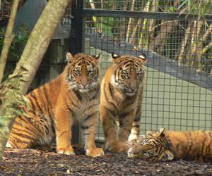 big cats, cubs, and smorgasbord image