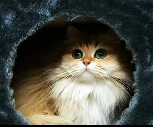 cat, eyes, and pisi image