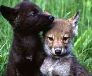 wolf pup and cute image
