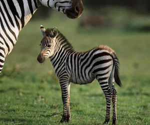 zebra and animal image