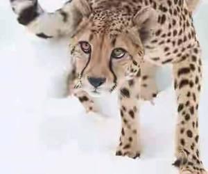animal, cheetah, and snow image