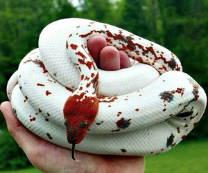 snake, red, and white image