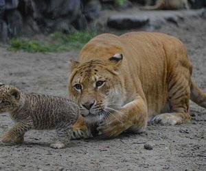 animal and liger image