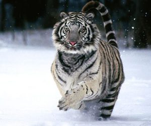 national geographic, hermoso, and tigre blanco image