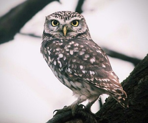 forest, owl, and little owl image