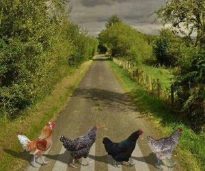 Chicken and funny image