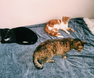 black, brown, and cats image