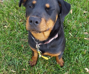 rottweiler, cute, and dog image