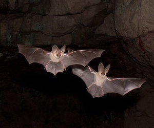 bats, animal, and bat image
