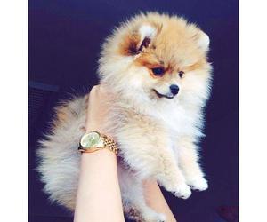 animal, spitz, and dog image
