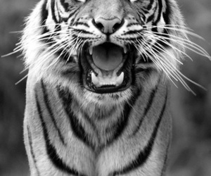 animal, black and white, and stripes image