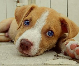 blue eyes, dog, and little dog image