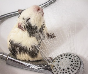 guinea pig, hamster, and shower image