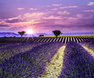 beautiful, field, and lavender image