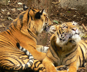 predators, smorgasbord, and tiger image