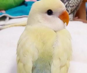 animals, birds, and budgie image