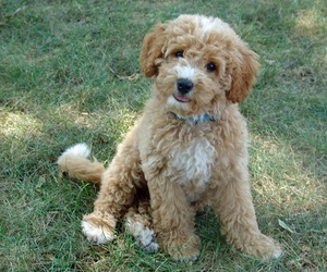 dog, labradoodle, and cute image