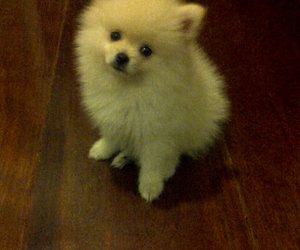 doggie, puppy, and japanese spitz image