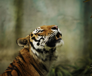 animal, tiger, and elite image