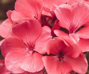 flowers, fondo, and pink image