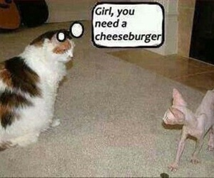 cat, funny, and cheeseburger image