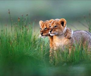 lion, animal, and friends image