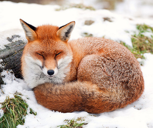fox, foxes, and keeping image