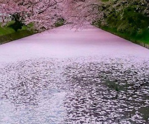 japan, nature, and pink image
