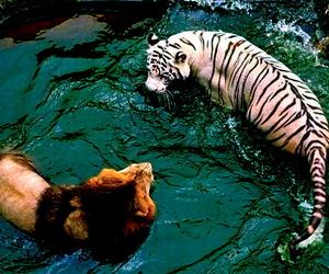 lion, tiger, and animal image
