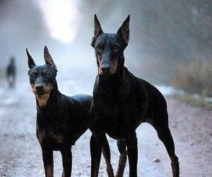 dog, animal, and doberman image