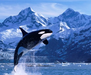 orca, animal, and ocean image