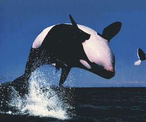 orca, sea, and ocean image