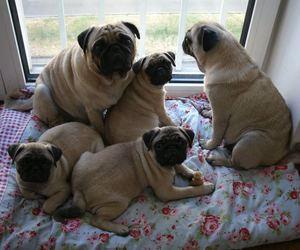 family, pug, and pugs image