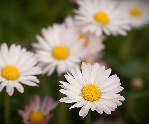 adorable, flowers, and daisies image