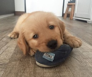 puppy and toms image