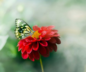 butterfly, flower, and red image