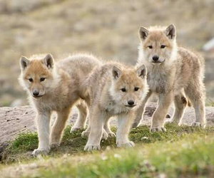 cub, pack, and wolf image