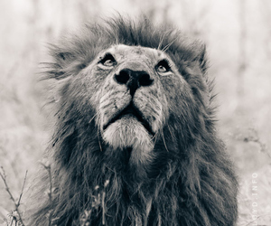 b&w, lion, and photography image