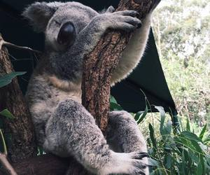 animals, Koala, and cute image