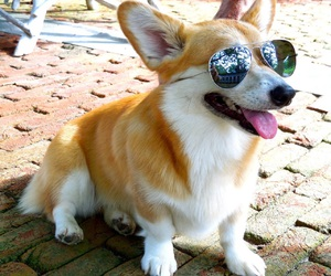 animals, cool, and corgi image