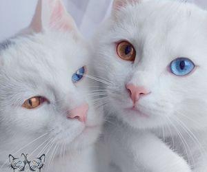 beautiful, cat, and heterochromia image