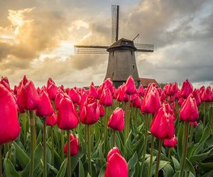 flowers, holland, and spring image